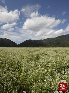 福井のソバ畑